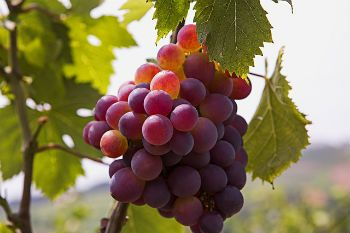 Red grapes on a vine.